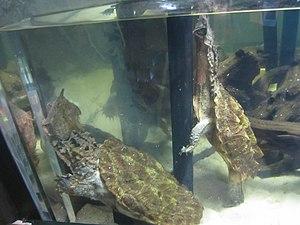 Mata mata - Mata mata turtles on exhibit at the North Carolina Museum of Natural Sciences in Raleigh, North Carolina.