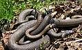 Mating of Grass snakes (Natrix natrix).jpg