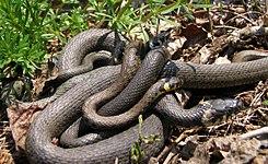 Natrix Natrix Wikipedia