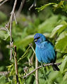 Maximum Blue - Indigo bird - male facing.jpg