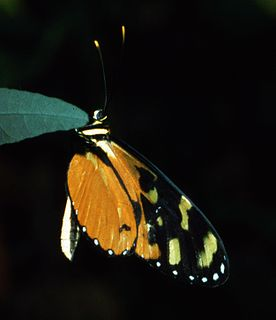 <i>Mechanitis</i> genus of insects