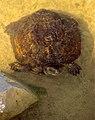 Mediterranean Pond Turtle (Mauremys leprosa) (36487675601).jpg