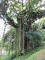 Melaka BH - St Paul steps - vegetation.jpg