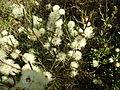 Melaleuca hamata (flowers).JPG