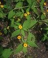 Melampodium divaricatum 1.jpg