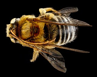 <i>Melissodes communis</i> Species of bee