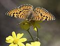 Melitaea collina - Hataylı İparhan 15.jpg
