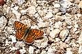 Melitaea phoebe2.jpg