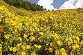 Mexican Sunflower at Mae U Kore, Maehongson - panoramio.jpg