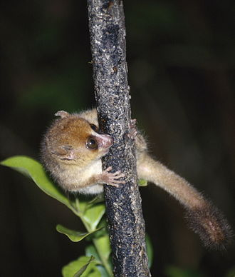Brown mouse lemur - Image: Microcebus rufus