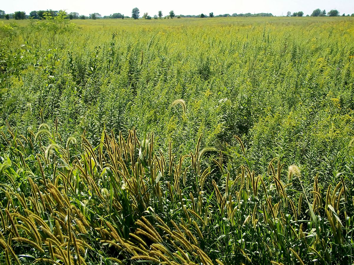 Tallgrass prairie wikipedia for Like long grasses