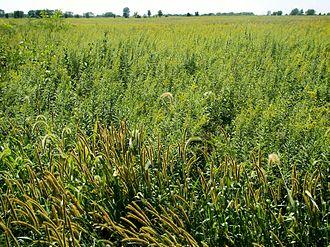 Tallgrass prairie - Tallgrass prairie reserve, Midewin National Tallgrass Prairie