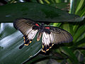 Mike Lawrence - Wisley Butterflies (by-sa).jpg