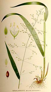 Wald-Flattergras – Wikipedia
