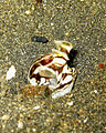 Mimic Octopus 6.jpg