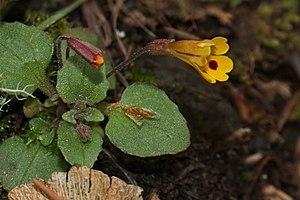 Erythranthe - E. alsinoides in Oregon