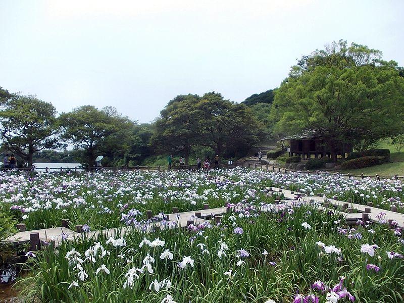 File:Miyajidake-jinja Iris Festival 06.jpg