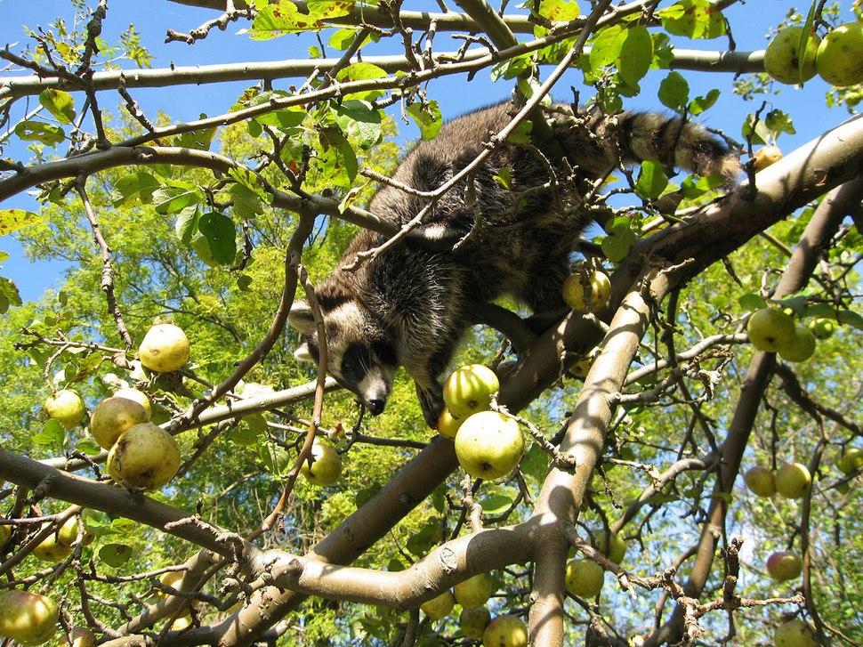 Mm im Apfelbaum