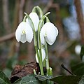 Moisture on snowdrops - geograph.org.uk - 1712842.jpg