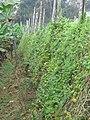 Momordica charantia - Bitter melon at Wayanad (1).jpg