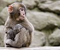 Monkey at Takasakiyama (高崎山) - panoramio.jpg