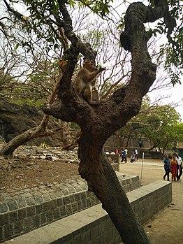 Monkey enjoying lemon soda 02.jpg