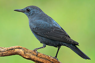 Blue rock thrush species of bird