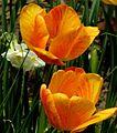 More Tulips (5714497615).jpg