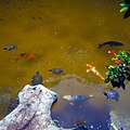 Morikami Museum and Gardens - Koi and Turtles in Pond 01.jpg