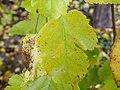 Morus nigra (12).jpg