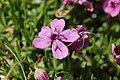 Moss Campion - Silene acaulis (43762035365).jpg