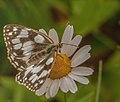 Motylek lubicki.jpg