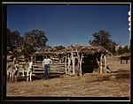 Mr. Leatherman, homesteader, with his work burros 1a34166v.jpg