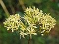 Murraya koenigii flowers at Peravoor (17).jpg