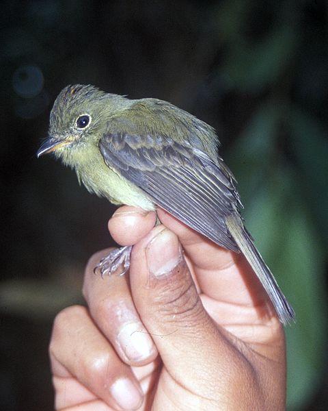 Ficheiro:Myiophobus phoenicomitra.jpg