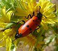 Mylabris quadripunctata. Meloidae. - Flickr - gailhampshire (1).jpg