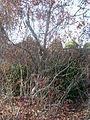 Myrica pensylvanica - Northern Bayberry.JPG