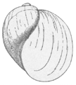 Myxas glutinosa.png