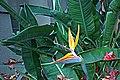 N20141205-0011—Strelitzia reginae—Berkeley-1 (15821474547).jpg