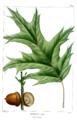 NAS-028f Quercus rubra clean.png