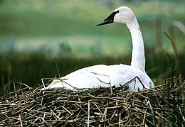 NPS Wildlife. Trumpeter Swan on Nest.jpg