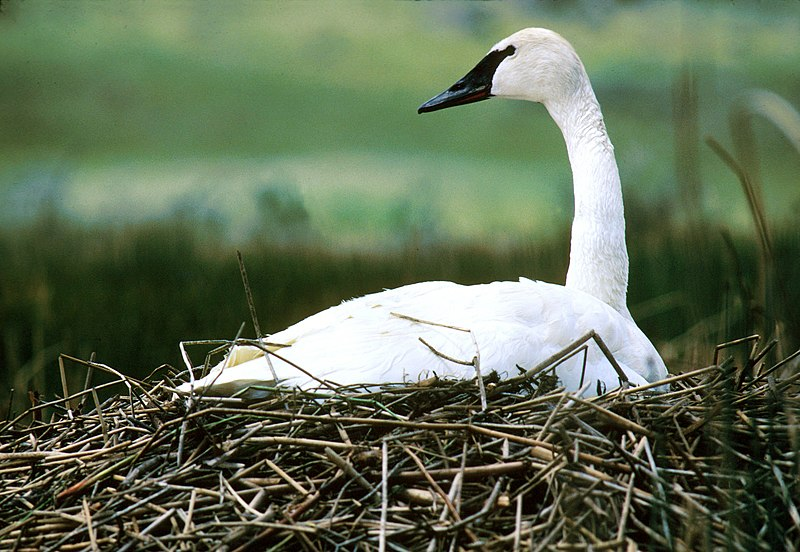 File:NPS Wildlife. Trumpeter Swan on Nest.jpg