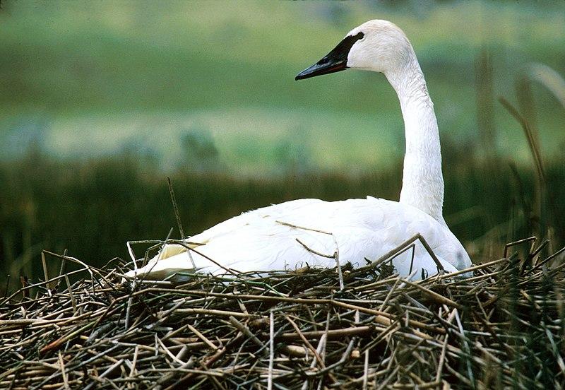 File:NPS Wildlife. Trumpeter Swan on Nest.jpg