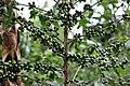 NP Rwanda Coffee6 (6283320845).jpg