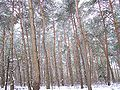 Nadelwald im Winter.jpg