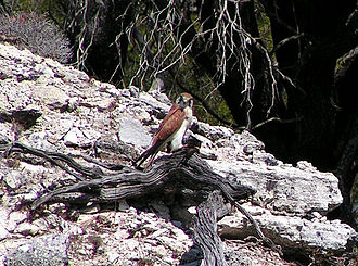 Nankeen kestrel - With kill in talons, Rottnest Island, Western Australia