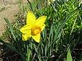 Narcis (2).jpg