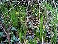 Narcissus munozii-garmendiae Habitat 180109 SierraMadrona.jpg