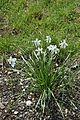 Narcissus poeticus in Jardin Botanique de l'Aubrac 01.jpg