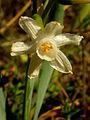 Narcissus tortifolius676.jpg